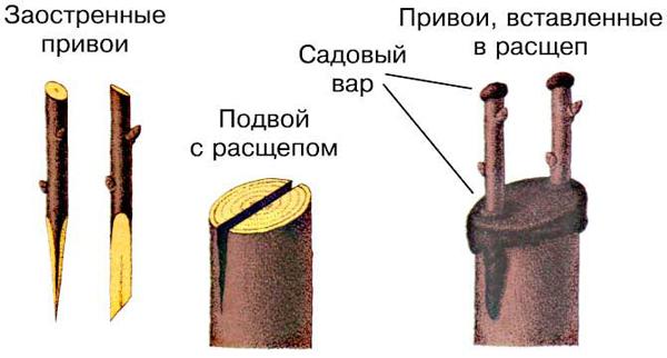 Показана схема прививки черенком
