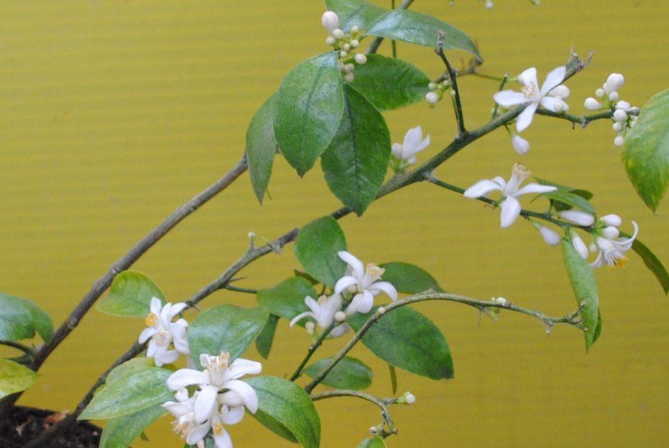 Обильное цветение может истощить лимон и завязи начнут опадать. Особенно плохо много цветков в первый год плодоношения. Дальше деревце само разберется, сколько цветков ему оставлять для развития плодов