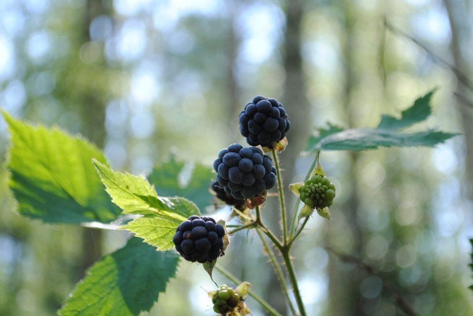 Лесная сизая ежевика – родоначальница садовых сортов и гибридов