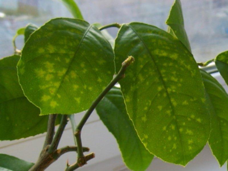 Листва лимонного деревца поражена листовой мозаикой