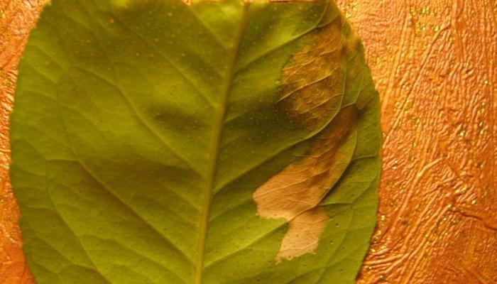 Растение, заболевшее раком