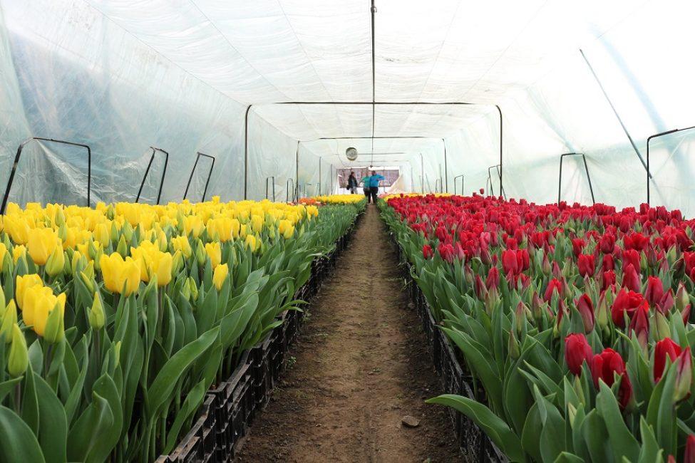 Рис. 16 – Выгонка тюльпанов на продажу в промышленных масштабах.