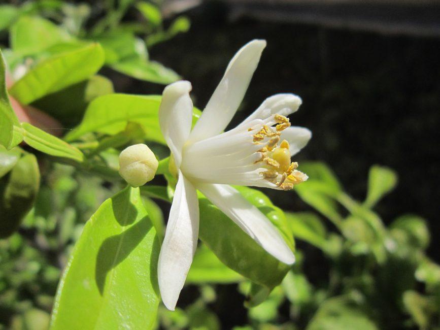 Ароматные цветок лимона
