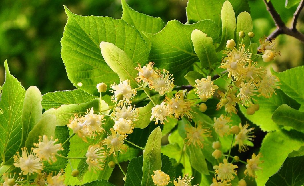 цветочки липы