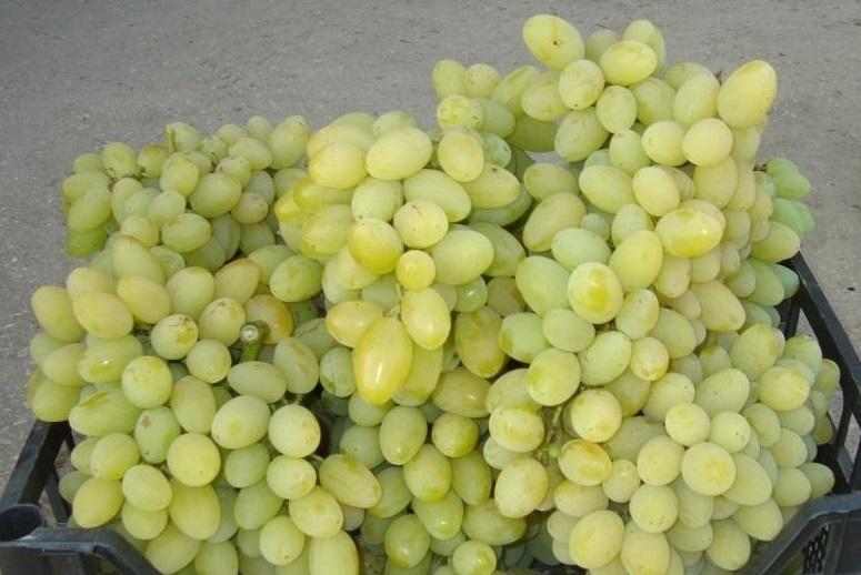 Августин виноград
