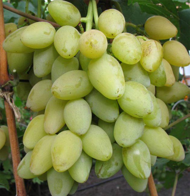 Мускат летний сорт винограда
