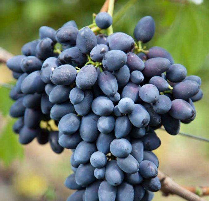 Надежда сорт винограда