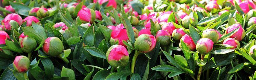 Пионы — конкуренты роз: описание и характеристика 30 сортов, все что вам следует знать о них (50 Фото & Видео)  Отзывы