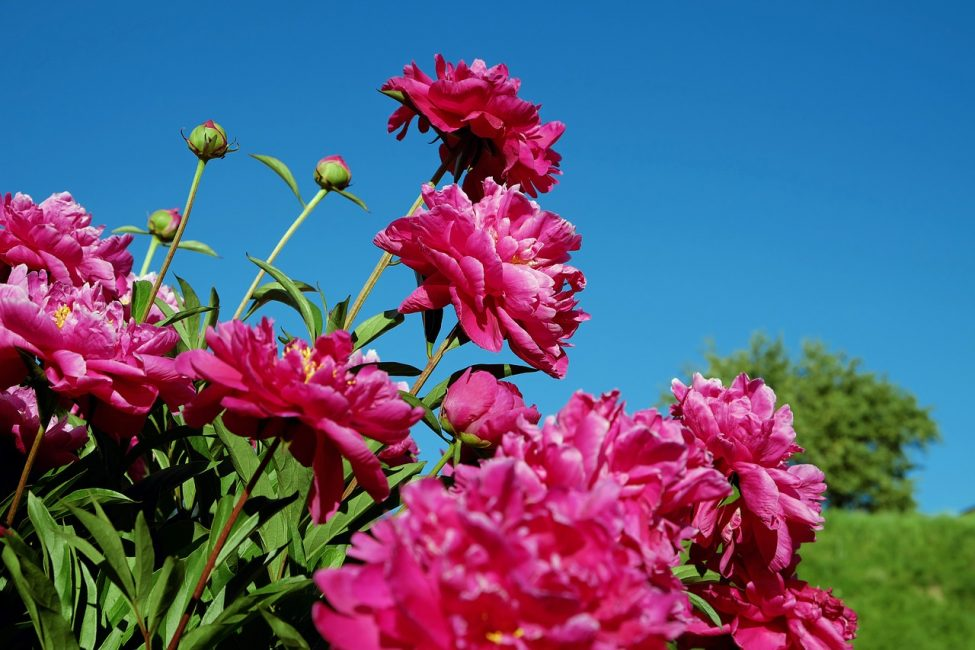 Пионы являются одними из любимых садовых растений