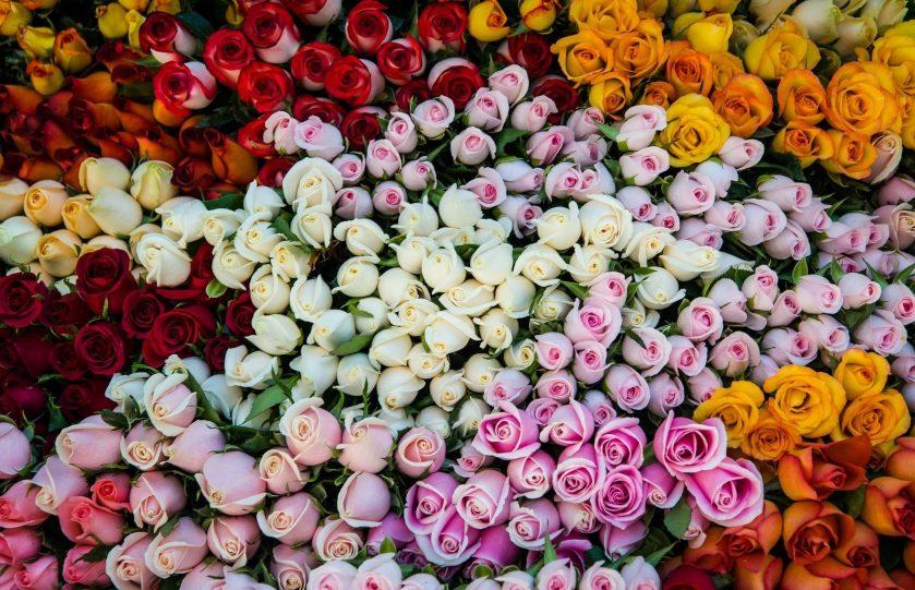 роза сорта фото и описание