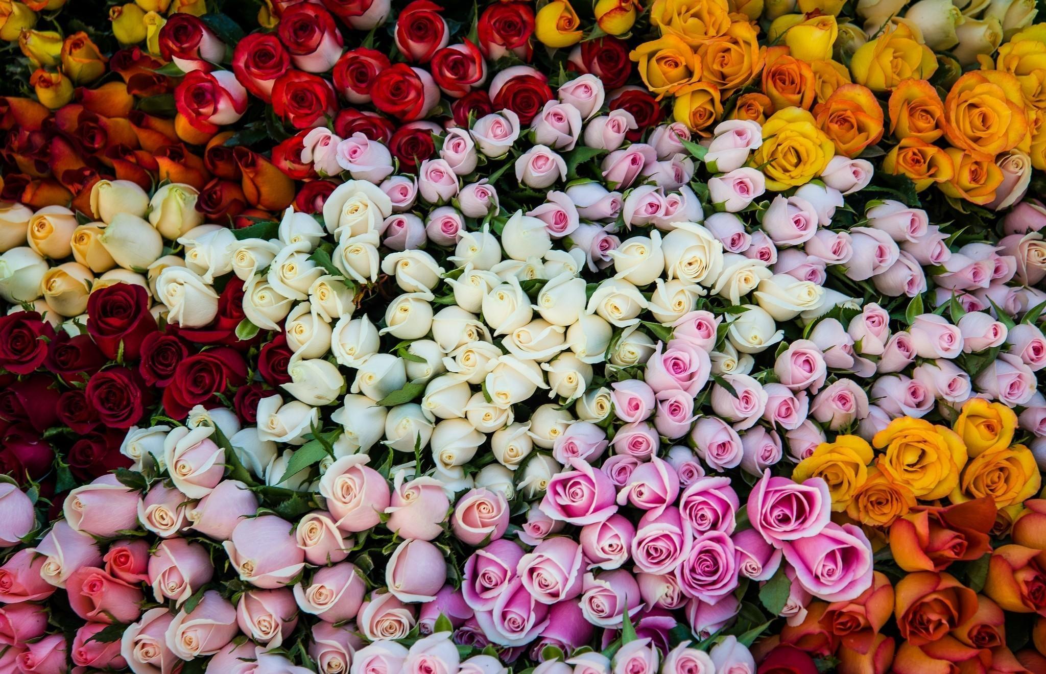 Роза: Описание 16 Сортов, Особенности и Уход (150 Фото)