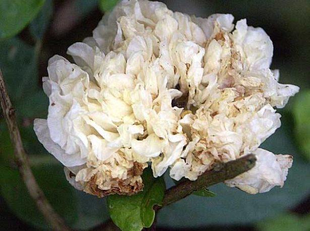 сорт граната альба пена