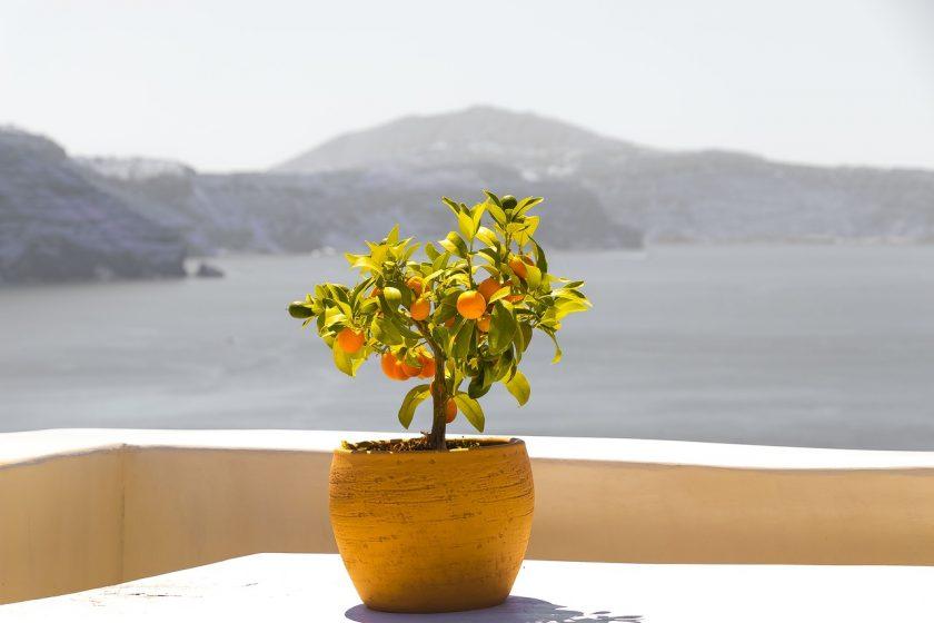 Апельсин растет на дереве