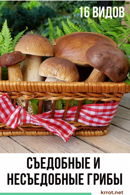 Съедобные и несъедобные грибы, грибы-двойники