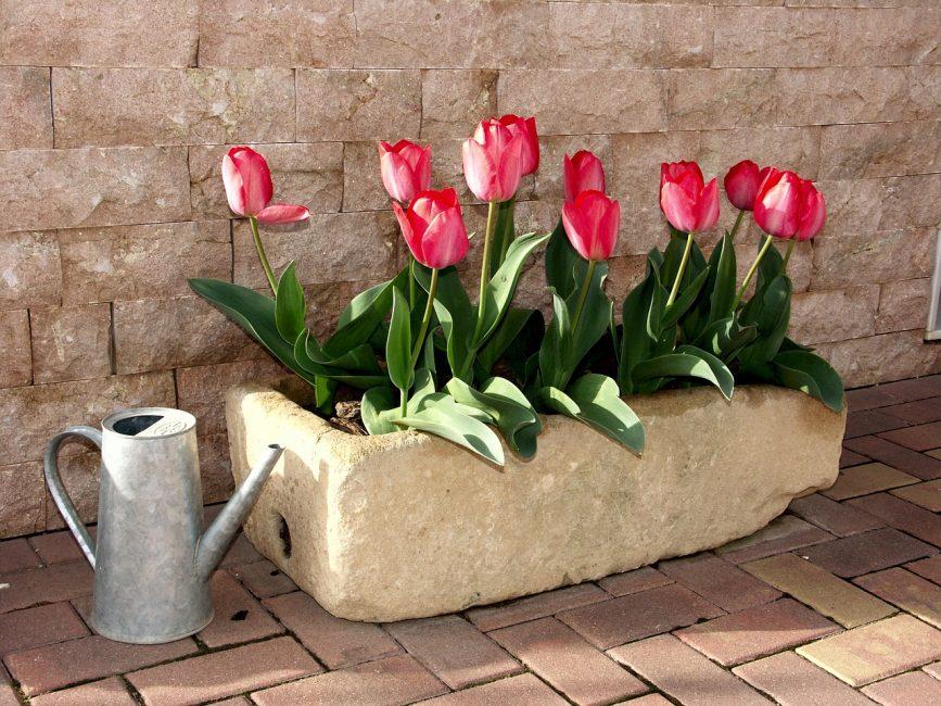клумба тюльпанов и кувшин с водой для полива