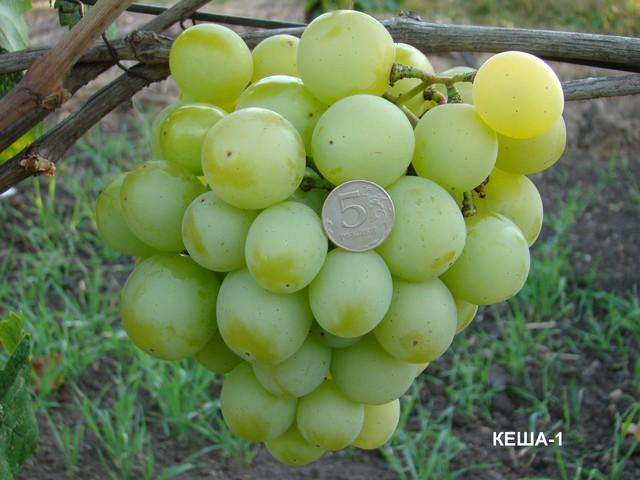 Кеша сорт винограда