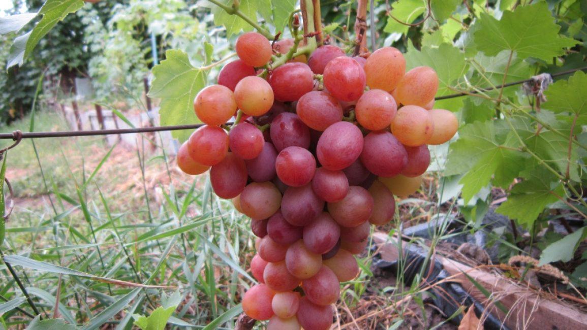 Ливия виноград сорт