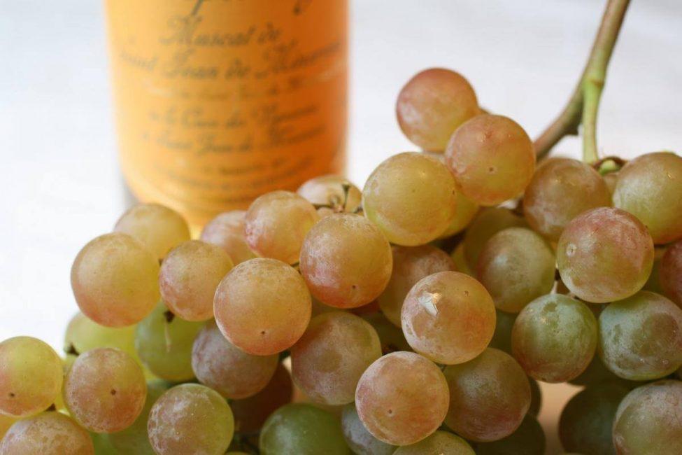 Мускат виноград сорт