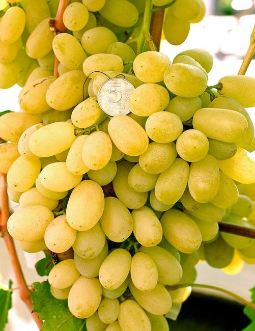 Лора сорт винограда
