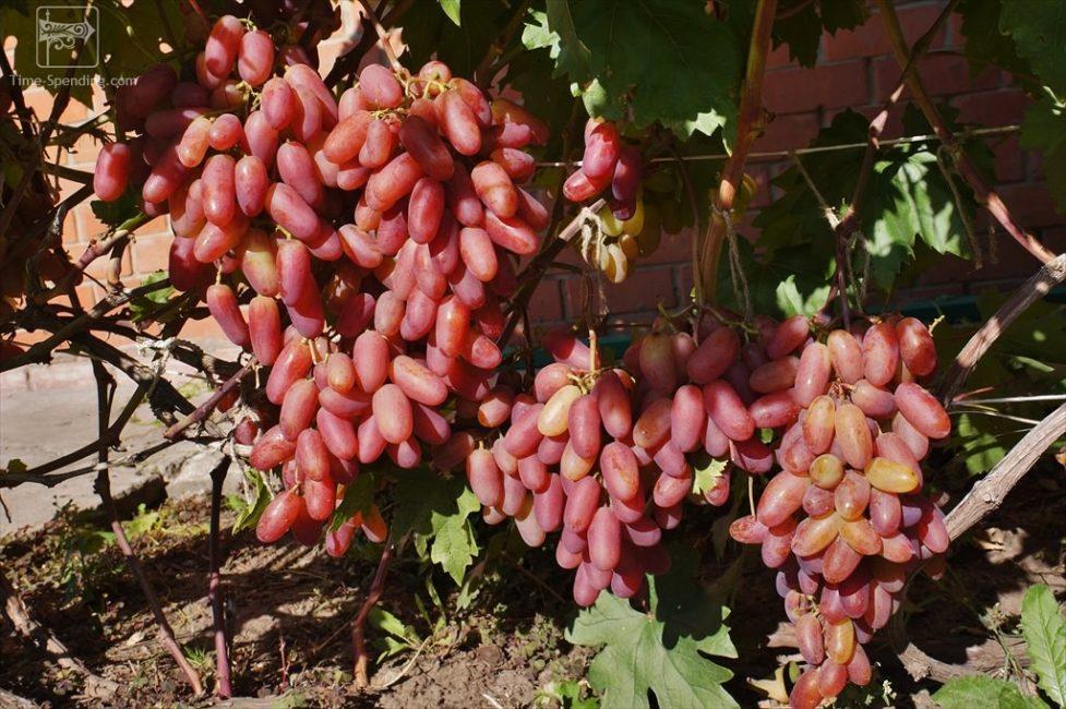 Юбилей Новочеркасска виноград
