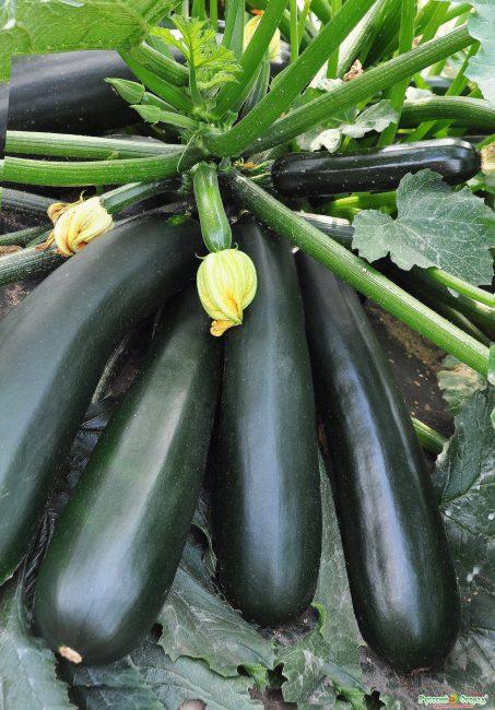 Сорт кабачков Черный красавец