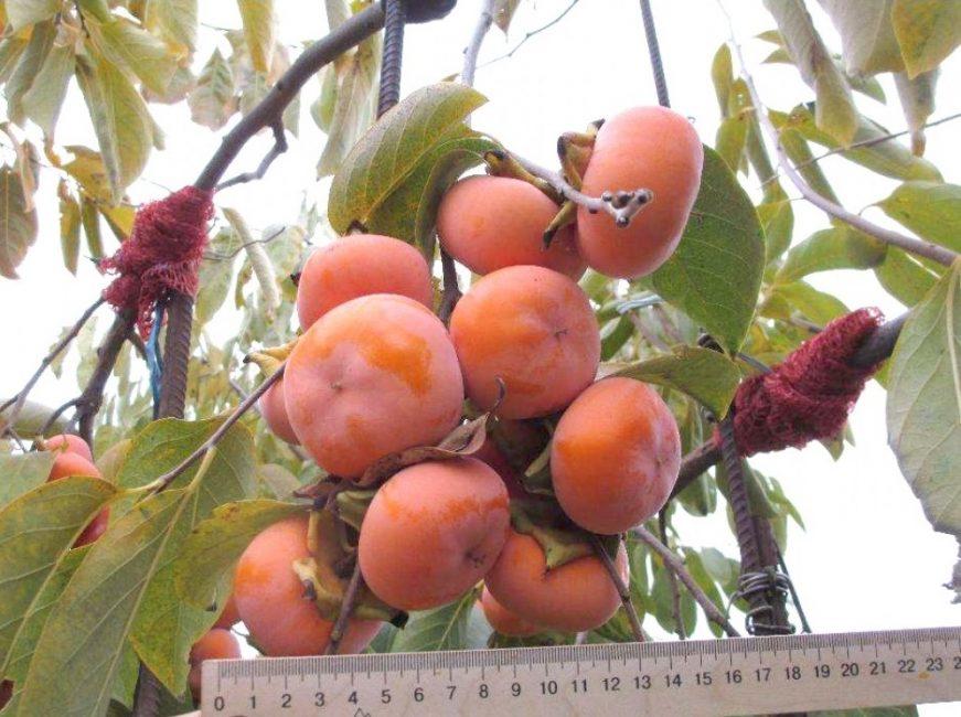 Осмотр ягод хурмы на дереве