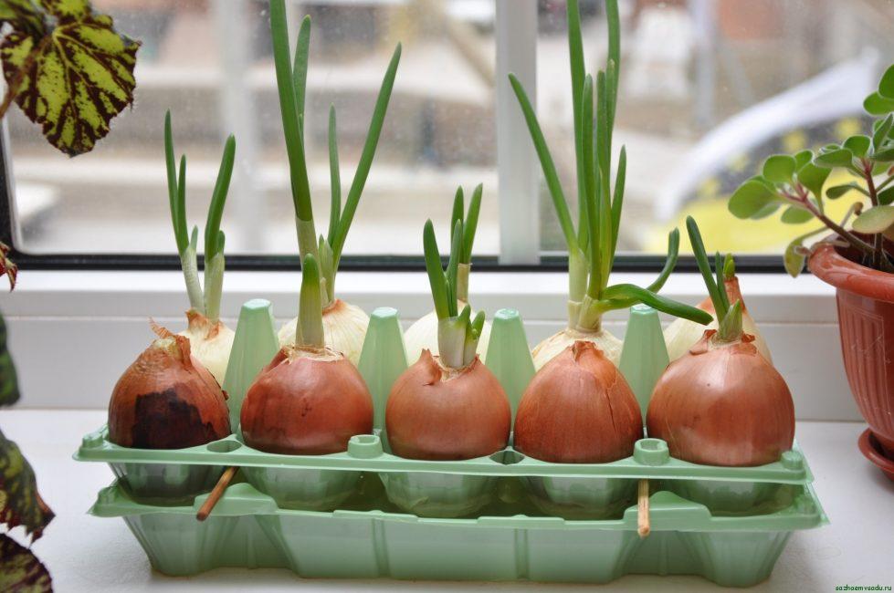 Выращивание лука в доме