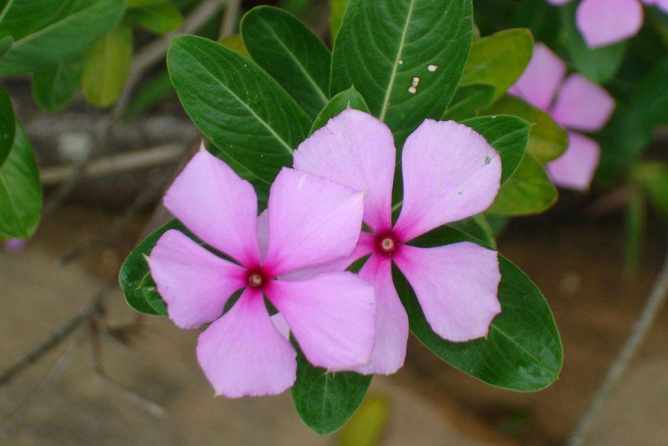 Catharanthus lanceus