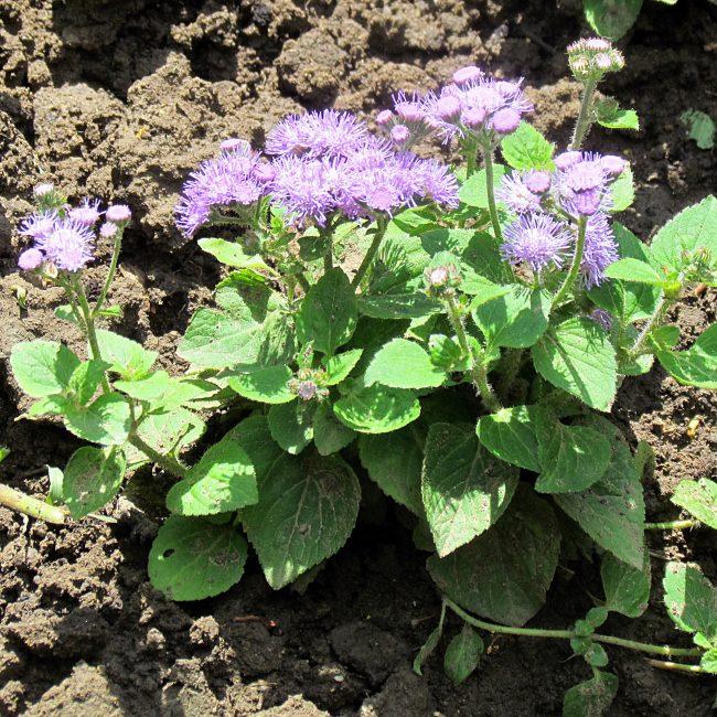 Через два месяца следует ожидать цветения агератума