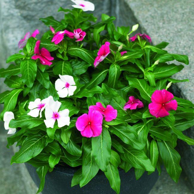 Сажая цветы нужно продумать сочетание красок