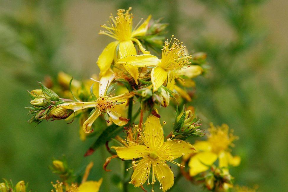 Зверобой (Hypericum)