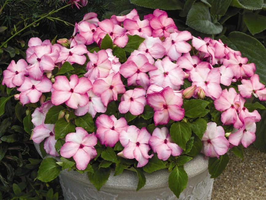 Типичный представитель первой группы. Розовый бальзамин Уоллера.