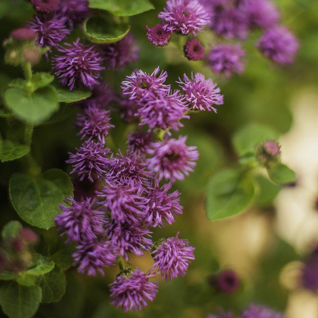 Цветок агератум склонен к поражению различными болезнями и вредными насекомыми.