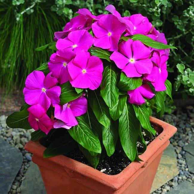 Катарантус славится своими лечебными свойствами. Он содержит 65 алкалоидов.