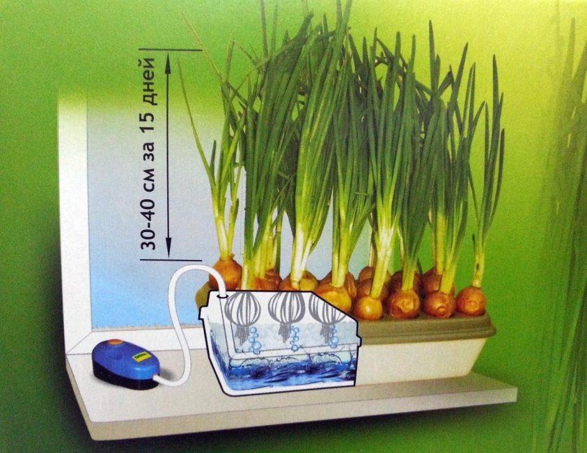 Гидропоника: самый быстрый и простой способ выращивания лука на перо