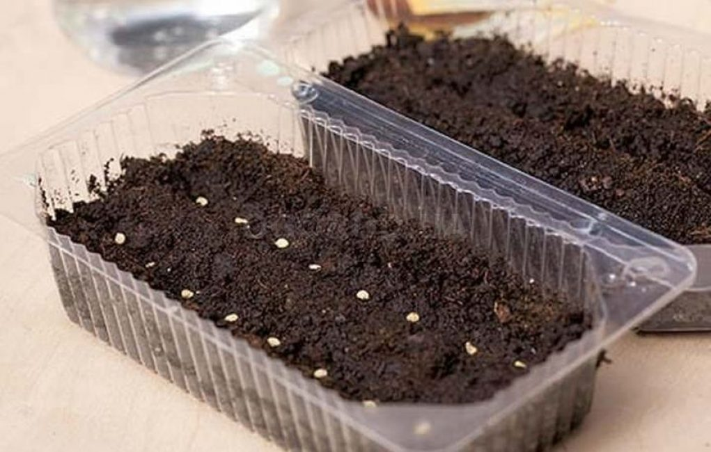 Семена можно высеять в готовые контейнеры, наполненные плодородным грунтом. Питательную смесь можно купить в специализированном магазине