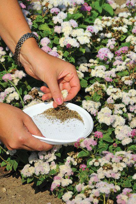 Приступить к сбору семян можно уже в конце сентября. К этому времени семена уже полностью вызревают