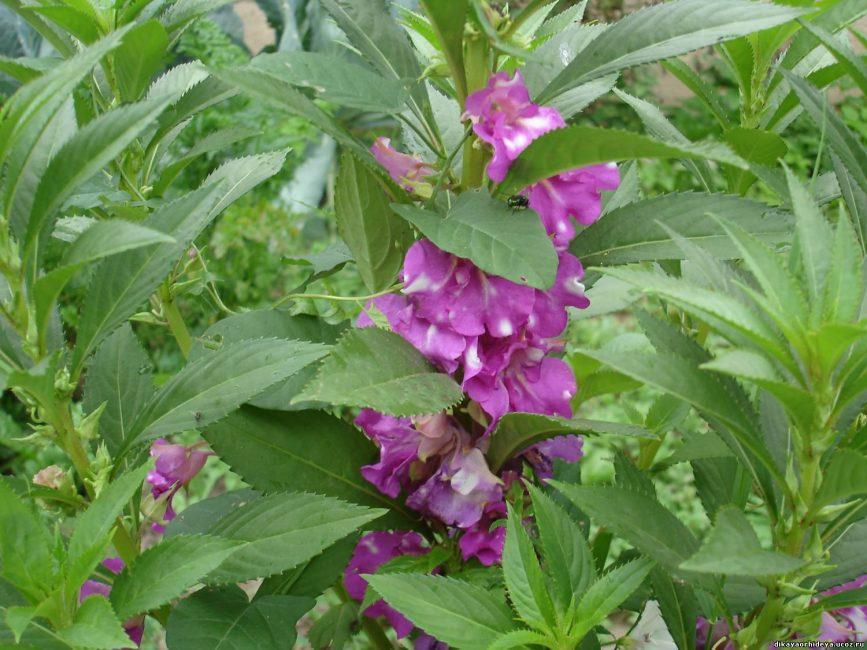 Камелия, гибрид садового бальзамина