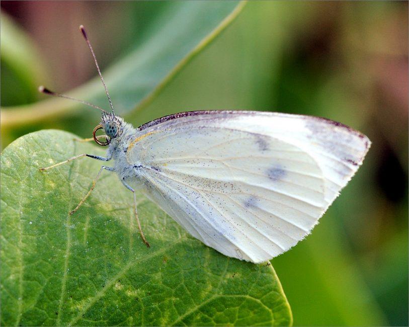 Бабочки-белянки наносят огромный ущерб всем растениям семейства Капустные