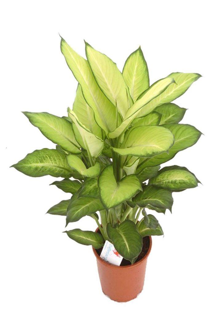 Диффенбахия цветок безбрачия фото