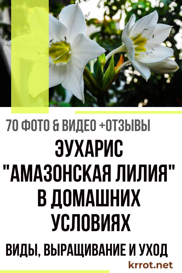 Цветок эухарис и правильный уход за ним
