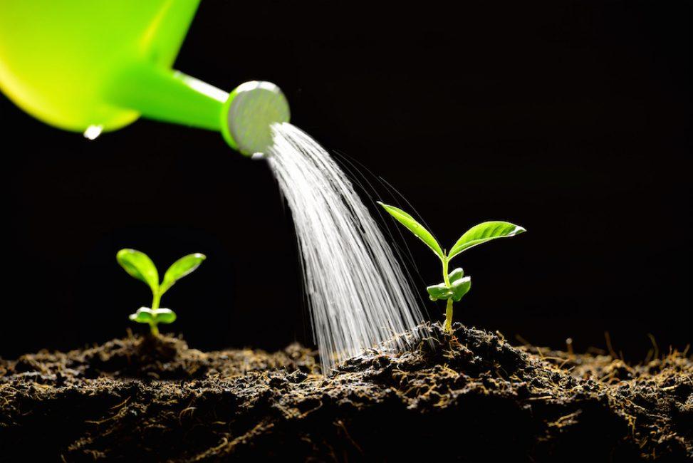 Важно правильно поливать сеянцы, чтобы рассада не полегла. Полив можно осуществлять из лейки с тонким горлышком и поливать только по краям горшочка, не попадая на сами растения