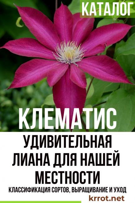 клематис фото и описание