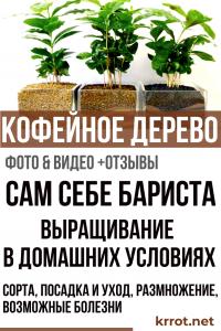 Сам себе бариста: выращивание кофейного дерева в домашних условиях, сорта, посадка и уход, размножение, возможные болезни (Фото & Видео) + Отзывы