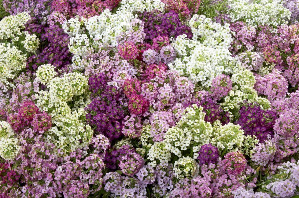 Соблюдение агротехнических приемов выращивания позволяет вырастить огромный, стелющийся ковер из разнообразных сортов