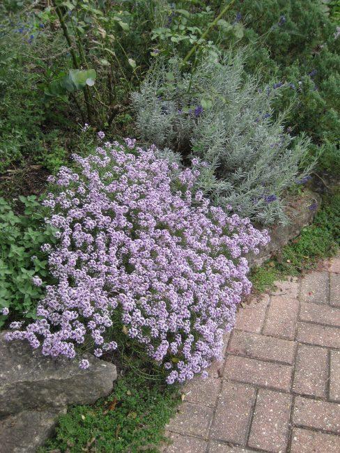 Пышное и продолжительное цветение возможно только при своевременном внесении удобрений. Если почва плодородная – можно избежать частых подкормок