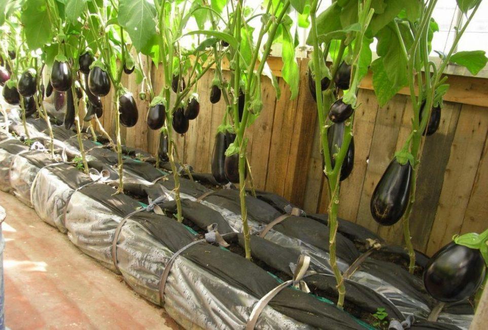 Чтобы был обильный урожай, растение следует высаживать в теплицу, в закрытый грунт.