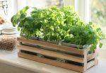 домашнее выращивание зелени