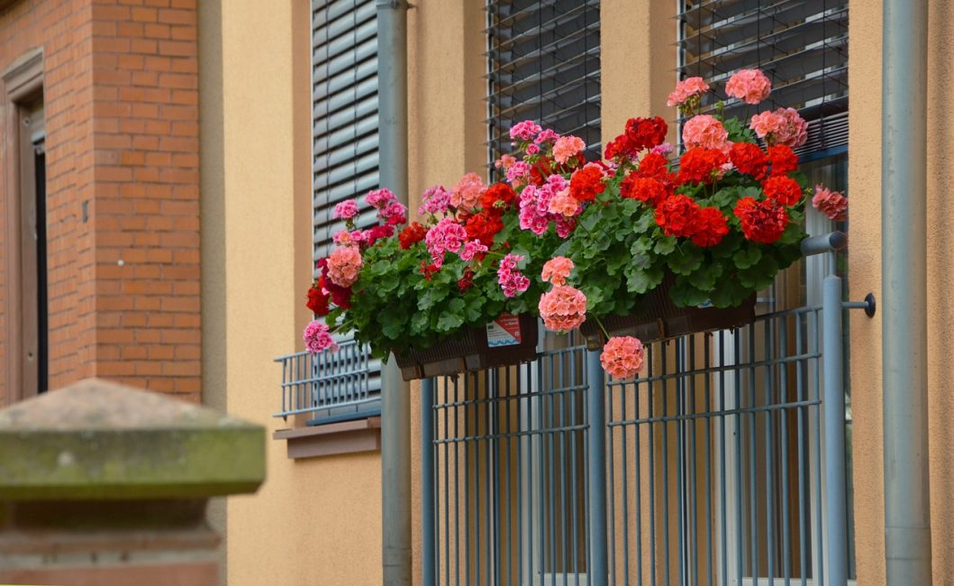 герани на балконе
