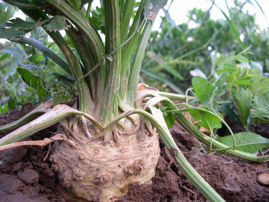 Есть мнение, что сельдерей нельзя сажать в почву с лишним количеством удобрений, так как это продлевает рост растений